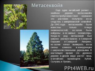 Метасеквойя Еще один китайский реликт— хвойное дерево метасеквойя глиптостробус