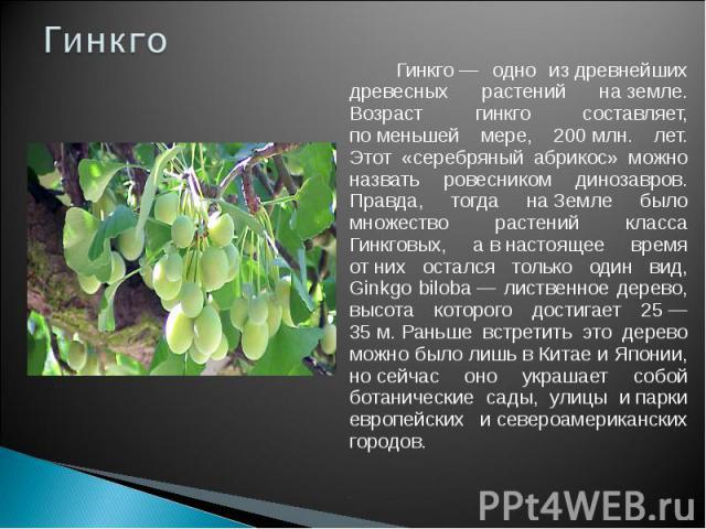 Гинкго Гинкго— одно издревнейших древесных растений наземле. Возраст гинкго составляет, поменьшей мере, 200млн. лет. Этот «серебряный абрикос» можно назвать ровесником динозавров. Правда, тогда наЗемле было множество растений класса Гинкговых,…