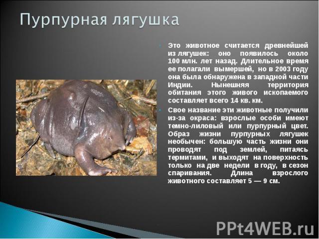 Пурпурная лягушка Это животное считается древнейшей излягушек: оно появилось около 100млн. лет назад. Длительное время ееполагали вымершей, нов2003году она была обнаружена взападной части Индии. Нынешняя территория обитания этого живого ископ…