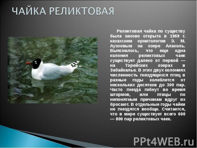 ЧАЙКА РЕЛИКТОВАЯ Реликтовая чайка по существу была заново открыта в 1969 г. казахским орнитологом Э. М. Ауэзовым на озере Алаколь. Выяснилось, что еще одна колония реликтовых чаек существует далеко от первой — на Торейских озерах в Забайкалье. В эти…