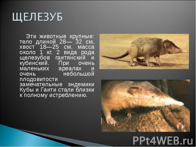ЩЕЛЕЗУБ Эти животные крупные: тело длиной 28— 32 см, хвост 18—25 см, масса около 1 кг. 2 вида рода щелезубов гаитянский и кубинский. При очень маленьких ареалах и очень небольшой плодовитости замечательные эндемики Кубы и Гаити стали близки к полном…