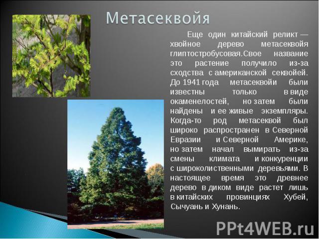 Метасеквойя Еще один китайский реликт— хвойное дерево метасеквойя глиптостробусовая.Свое название это растение получило из-за сходства самериканской секвойей. До1941года метасеквойи были известны только ввиде окаменелостей, нозатем были найден…