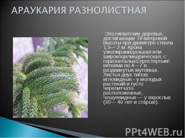 АРАУКАРИЯ РАЗНОЛИСТНА Это гигантские деревья, достигающие 70-метровой высоты при диаметре ствола 1,5— 2 м. Крона узкопирамидальная или широкоцилиндрическая, с горизонтально простертым! ветвями по 4—7 в раздвинутых мутовках. Листья двух типов: иглови…