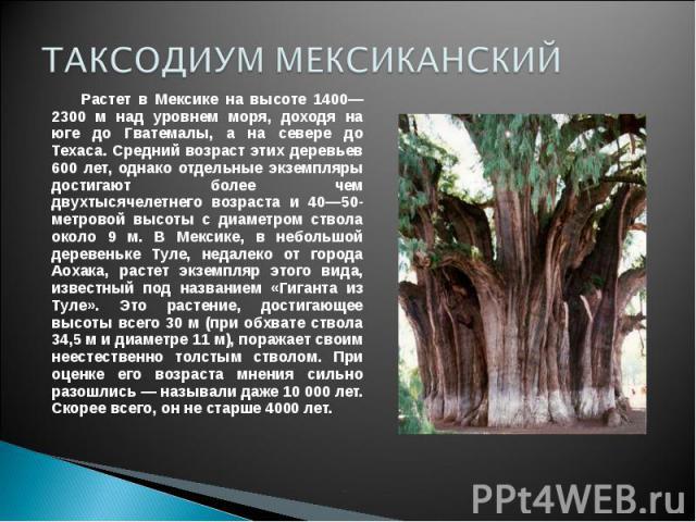 ТАКСОДИУМ МЕКСИКАНСКИЙ Растет в Мексике на высоте 1400— 2300 м над уровнем моря, доходя на юге до Гватемалы, а на севере до Техаса. Средний возраст этих деревьев 600 лет, однако отдельные экземпляры достигают более чем двухтысячелетнего возраста и 4…