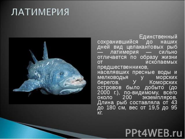 ЛАТИМЕРИЯ Единственный сохранившийся до наших дней вид целакантовых рыб — латимерия — сильно отличается по образу жизни от ископаемых предшественников, населявших пресные воды и мелководья у морских берегов. У Коморских островов было добыто (до 2000…