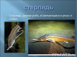 стерлядьСтерлядь. донная рыба, встречающаяся в реках и озерах.