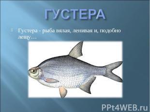 ГУСТЕРА Густера - рыба вялая, ленивая и, подобно лещу…