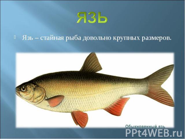 ЯЗЬЯзь – стайная рыба довольно крупных размеров.