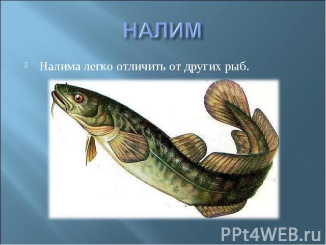НАЛИМНалима легко отличить от других рыб.