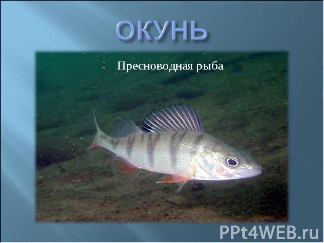ОКУНЬ Пресноводная рыба