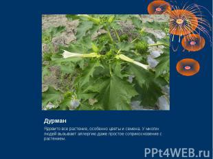 Дурман Ядовито все растение, особенно цветы и семена. У многих людей вызывает ал