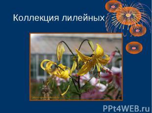 Коллекция лилейных