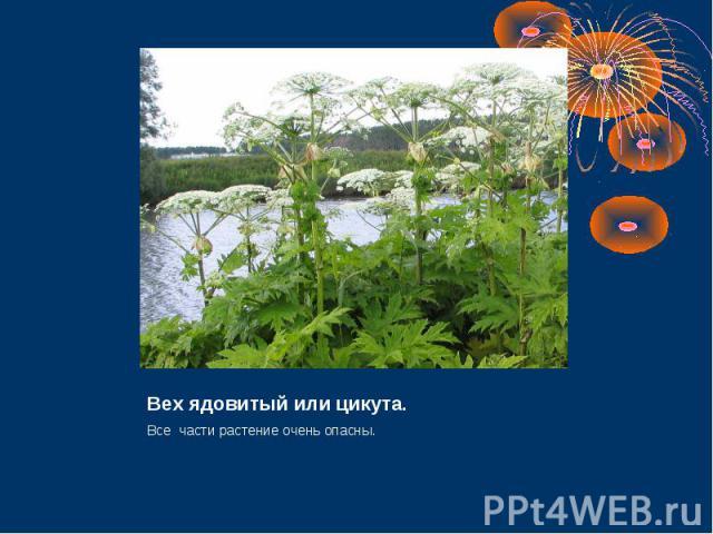 Вех ядовитый или цикута. Все части растение очень опасны.