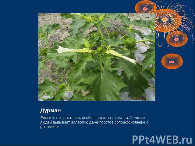 Дурман Ядовито все растение, особенно цветы и семена. У многих людей вызывает аллергию даже простое соприкосновение с растением.