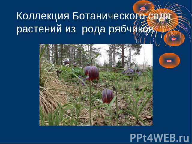 Коллекция Ботанического сада растений из рода рябчиков