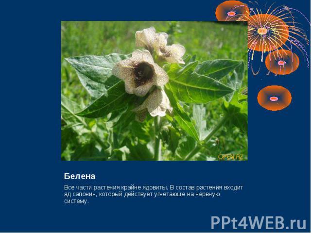 Белена Все части растения крайне ядовиты. В состав растения входит яд сапонин, который действует угнетающе на нервную систему.