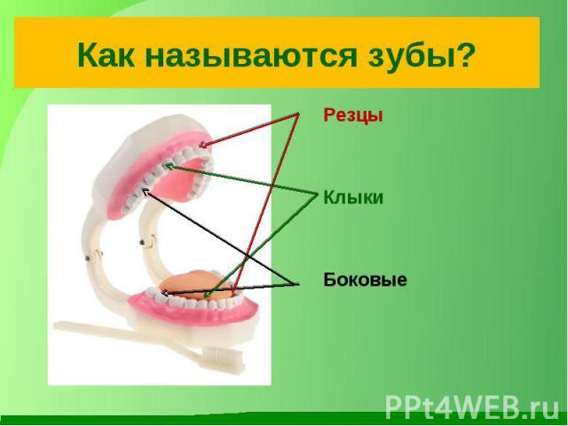 Как называются зубы? Резцы Клыки Боковые