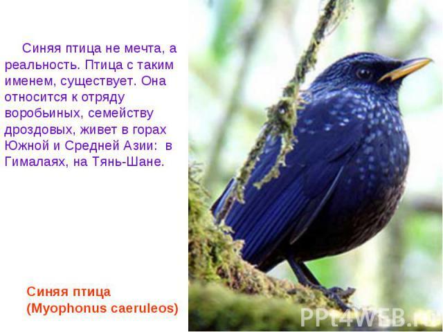 Синяя птица не мечта, а реальность. Птица с таким именем, существует. Она относится к отряду воробьиных, семейству дроздовых, живет в горах Южной и Средней Азии: в Гималаях, на Тянь-Шане. Синяя птица (Myophonus caeruleos)
