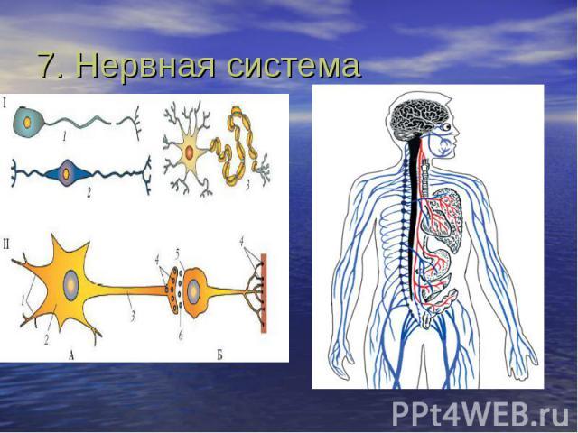 7. Нервная система