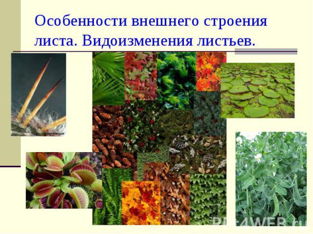 Особенности внешнего строения листа. Видоизменения листьев