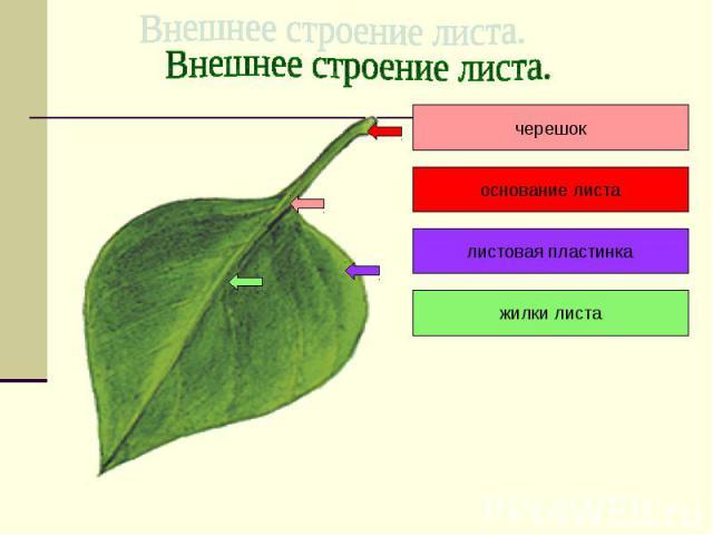 Внешнее строение листа. черешок основание листа листовая пластинка жилки листа