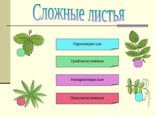 Сложные листья Парноперистые Тройчатосложные Непарноперистые Пальчатосложные