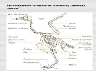 Какие особенности строения имеет скелет птиц, связанные с полетом?