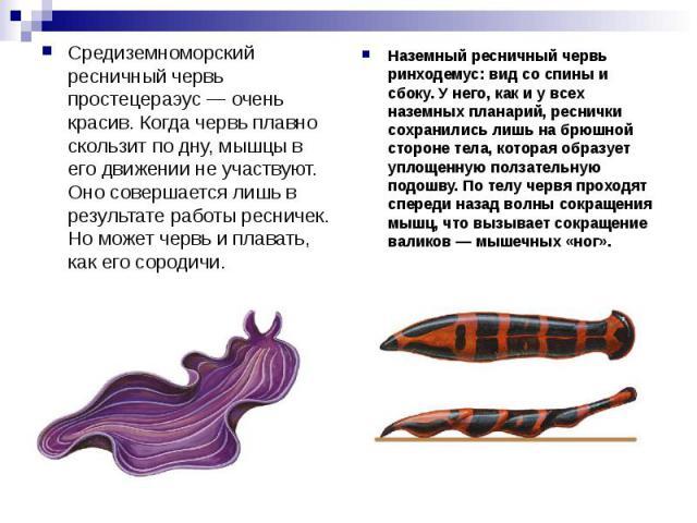 Средиземноморский ресничный червь простецераэус — очень красив. Когда червь плавно скользит по дну, мышцы в его движении не участвуют. Оно совершается лишь в результате работы ресничек. Но может червь иплавать, как его сородичи. Наземный ресничный …