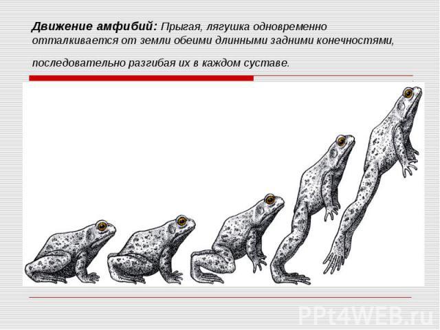 Движение амфибий: Прыгая, лягушка одновременно отталкивается от земли обеими длинными задними конечностями, последовательно разгибая ихвкаждом суставе.
