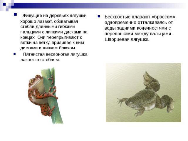 Живущие на деревьях лягушки хорошо лазают, обхватывая стебли длинными гибкими пальцами с липкими дисками на концах. Они перепрыгивают с ветки на ветку, прилипая к ним дисками и липким брюхом. Пятнистая веслоногая лягушка лазает по стеблям. Бесхвосты…