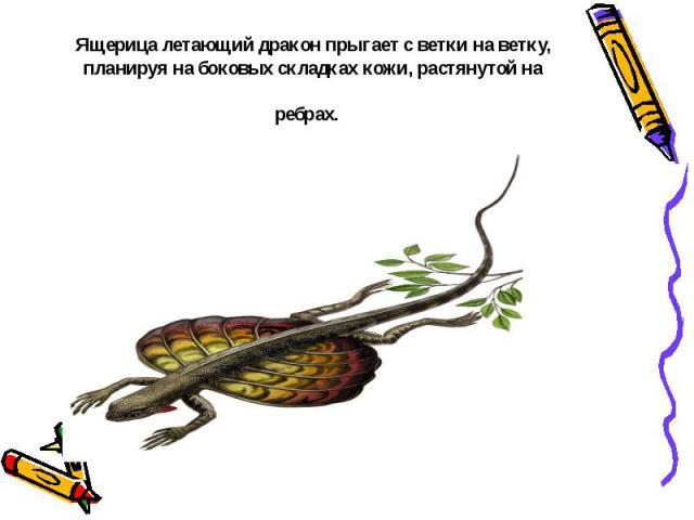 Ящерица летающий дракон прыгает светки на ветку, планируя на боковых складках кожи, растянутой на ребрах.