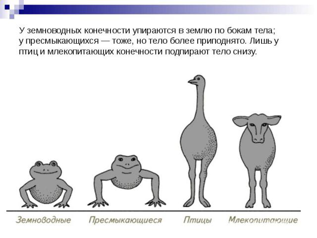 Уземноводных конечности упираются вземлю по бокам тела; упресмыкающихся— тоже, нотело более приподнято. Лишь у птиц имлекопитающих конечности подпирают тело снизу.