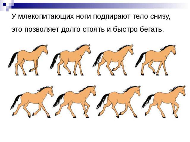 У млекопитающих ноги подпирают тело снизу, это позволяет долго стоять и быстро бегать.