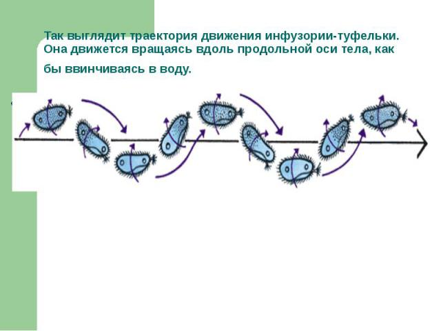 Так выглядит траектория движения инфузории-туфельки. Она движется вращаясь вдоль продольной оси тела, как бы ввинчиваясь в воду.