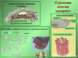 Схема строения комплекса Гольджи. Строение клетки эукариот Лизосомы – мембранные