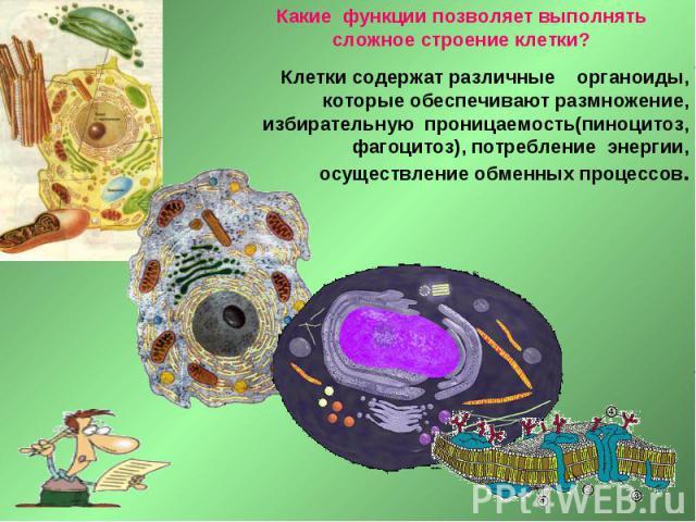 Какие функции позволяет выполнять сложное строение клетки? Клетки содержат различные органоиды, которые обеспечивают размножение, избирательную проницаемость(пиноцитоз, фагоцитоз), потребление энергии, осуществление обменных процессов.