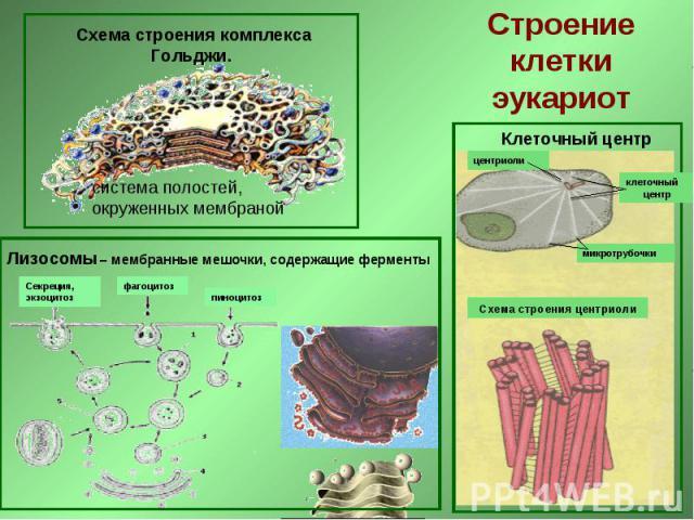 Схема строения комплекса Гольджи. Строение клетки эукариот Лизосомы – мембранные мешочки, содержащие ферменты