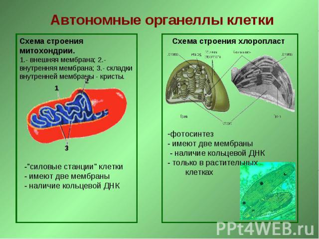 Автономные органеллы клетки Схема строения митохондрии. 1.- внешняя мембрана; 2.- внутренняя мембрана; 3.- складки внутренней мембраны - кристы. -