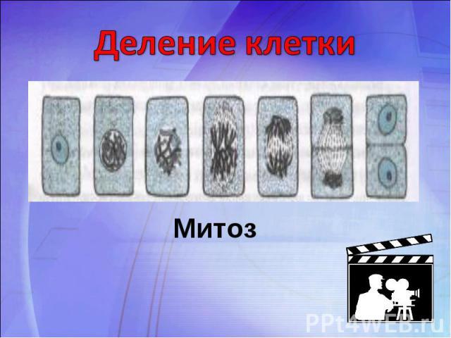 Деление клеткиМитоз