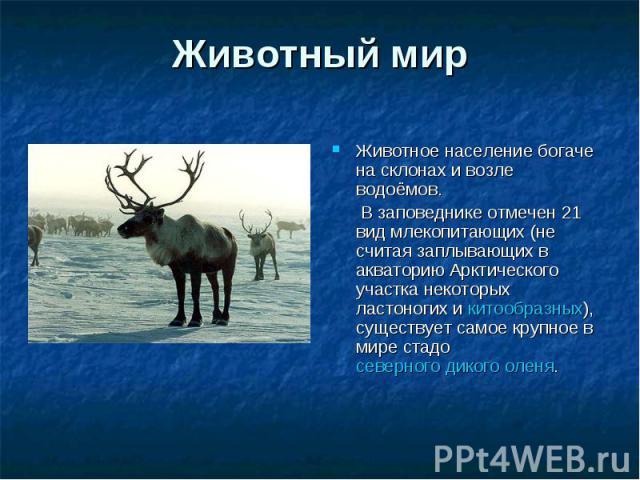 Животный мир Животное население богаче на склонах и возле водоёмов. В заповеднике отмечен 21 вид млекопитающих (не считая заплывающих в акваторию Арктического участка некоторых ластоногих и китообразных), существует самое крупное в мире стадо северн…