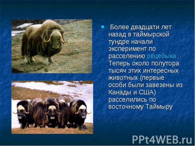 Более двадцати лет назад в таймырской тундре начали эксперимент по расселению овцебыка . Теперь около полутора тысяч этих интересных животных (первые особи были завезены из Канады и США) расселились по восточному Таймыру
