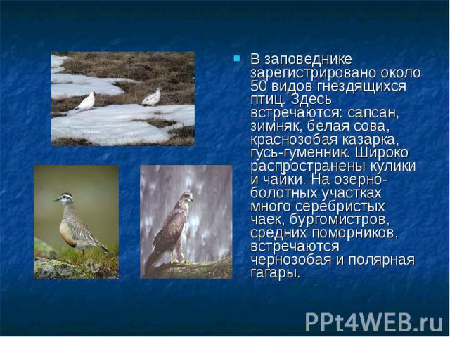 В заповеднике зарегистрировано около 50 видов гнездящихся птиц. Здесь встречаются: сапсан, зимняк, белая сова, краснозобая казарка, гусь-гуменник. Широко распространены кулики и чайки. На озерно-болотных участках много серебристых чаек, бургомистров…