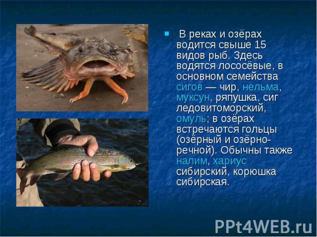 В реках и озёрах водится свыше 15 видов рыб. Здесь водятся лососёвые, в основном семейства сигов— чир, нельма, муксун, ряпушка, сиг ледовитоморский, омуль; в озёрах встречаются гольцы (озёрный и озёрно-речной). Обычны также налим, хариус сибирский,…