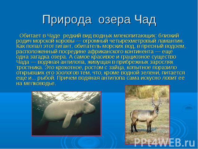 Природа озера Чад Обитает в Чаде редкий вид водных млекопитающих: близкий родич морской коровы — огромный четырехметровый ламантин. Как попал этот гигант, обитатель морских вод, в пресный водоем, расположенный посредине африканского континента — еще…