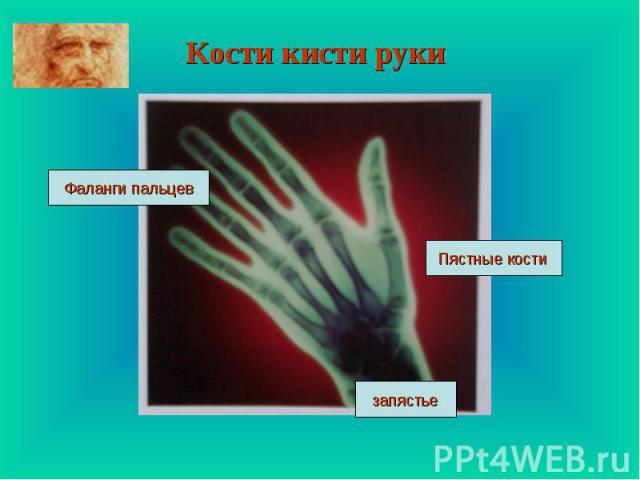 Кости кисти руки Фаланги пальцев Пястные кости запястье