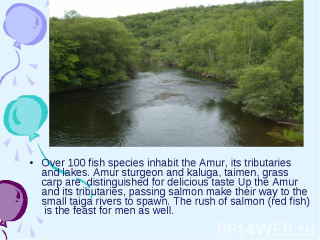 Over 100 fish species inhabit the Amur, its tributaries and lakes. Amur sturgeon and kaluga, taimen, grass carp are distinguished for delicious taste Up the Amur and its tributaries, passing salmon make their way to the small taiga rivers to spawn. …