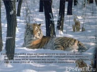 К концу же 30-х годов амурский тигр оказался на грани исчезновения - оставалось