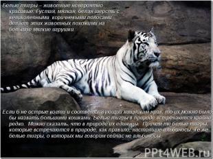 Белые тигры – животные невероятно красивые. Густая, мягкая, белая шерсть с велик
