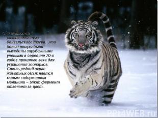 Они являются разновидностью бенгальского тигра. Эти белые тигры были выведены за