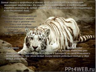 Белые тигры в природных условиях из-за своего окраса испытывают некоторые неудоб